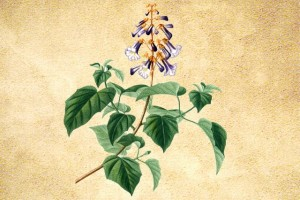 Scrophulariaceae