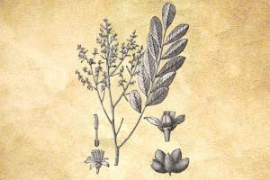 Simaroubaceae