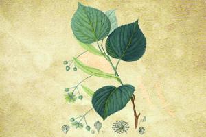 Tiliaceae