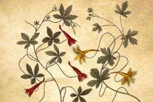 Tropeolaceae