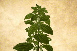 Urticaceae