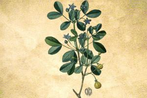 Zygophyllaceae