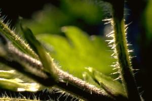 éliminer les poils urticants avant de la consommer