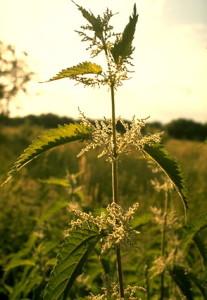 L'ortie piquante © Secrets de plantes