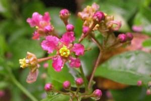 Fleur d'acérola